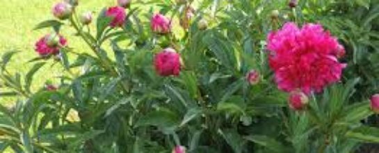 red peonies blooming